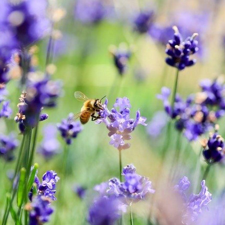 lavender-3490600_640
